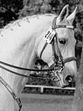 Der polnische Anglo-Araberhengst Kurde (Koheilan I x Bafur xx) geb. 1935, wirkte sehr erfolgreich im Landgestüt Celle im Zuge der Umzüchtung des deutschen Warmblutes vom schweren Wirtschaftstyp zum modern geschnittenen Reitpferd. (Foto: H. Gloy)