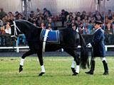 Der Hengst Lavauzalle AA (Fol Avril x Iole) ist mit 27 Nachkommen im Sport vertreten. (Foto: M. Schwöbel)
